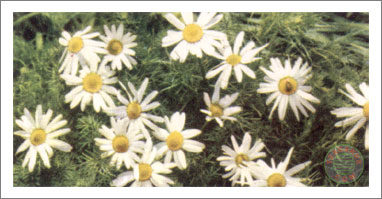 38. Scentless Mayweed