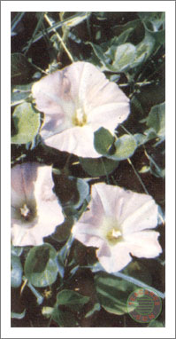 49. Sea Bindweed