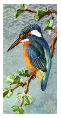 24. Kingfisher