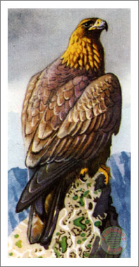 33. Golden Eagle