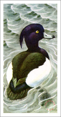 44. Tufted Duck