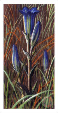 Non-sport Trading Cards Collectibles Brooke Bond Tea Wild Flowers #19 Marsh Gentian