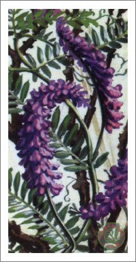 43. Tufted Vetch